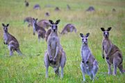 Information You Might Be Searching Regarding Kangaroos In The Wild Near Melbourne